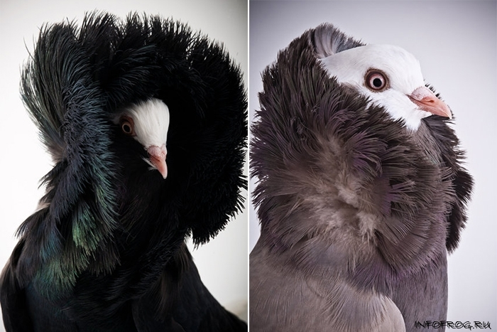 golubi1