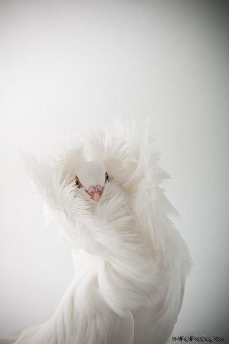 golubi10