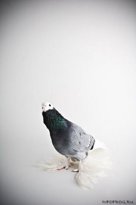 golubi11