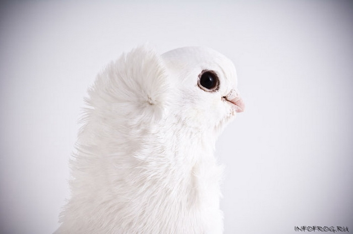 golubi2