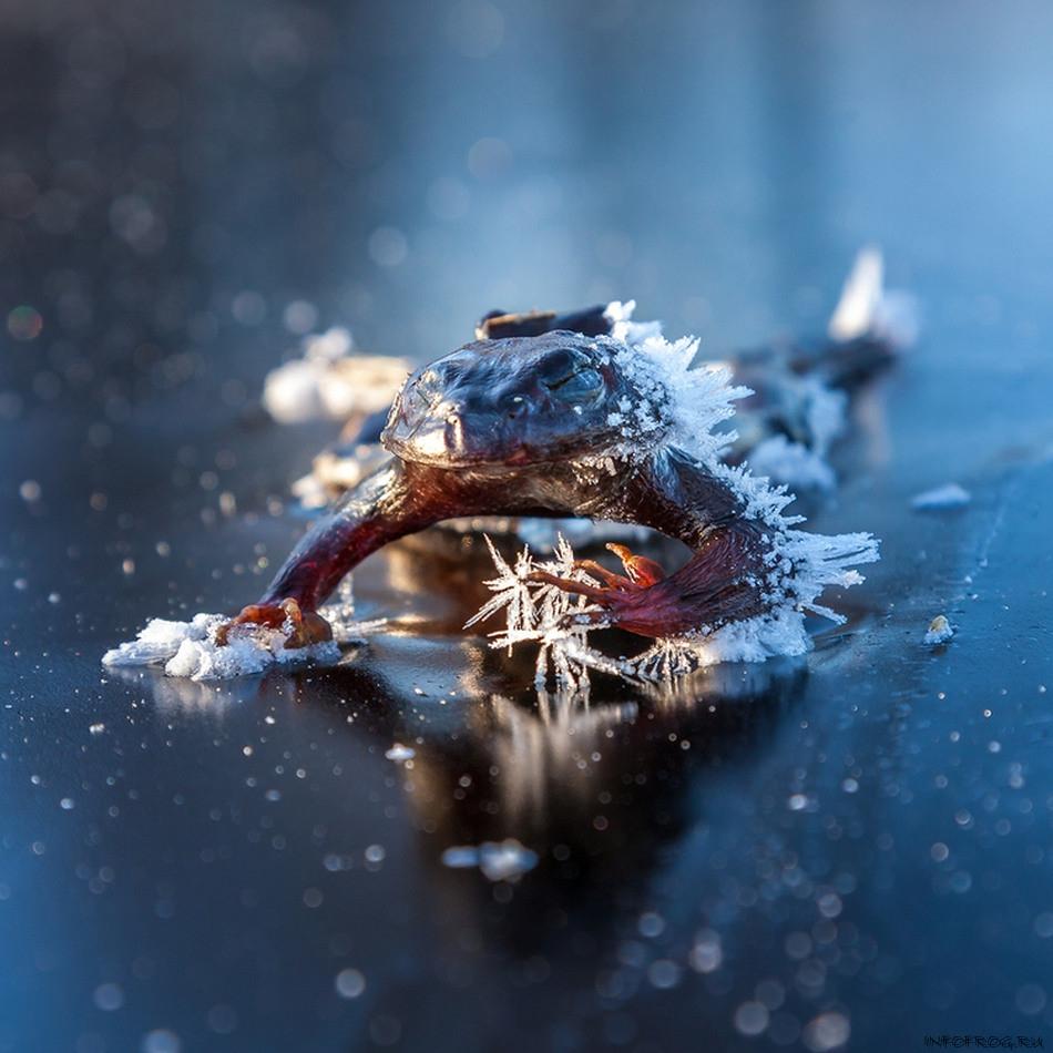 Куда деваются лягушки зимой