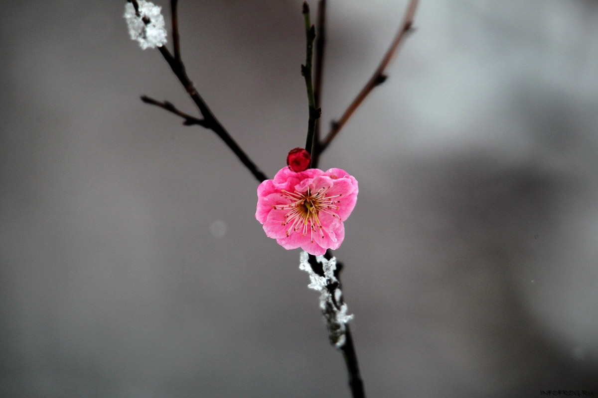 CHINA-NANJING-SNOW-PLUM FLOWER(CN)