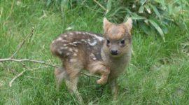 В США родился самый маленький олененок в мире.