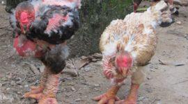 Курицы Донг Тао с драконьими лапами »