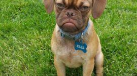 Сердитый пёс недоволен даже больше, чем известный Grumpy cat!