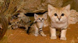 Барханная кошка — большие котята!
