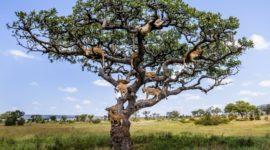 Дерево львов или как «царям зверей» пришлось прятаться от мух »