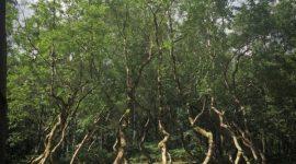 Известна причина, по которой эти деревья росли, образуя круг