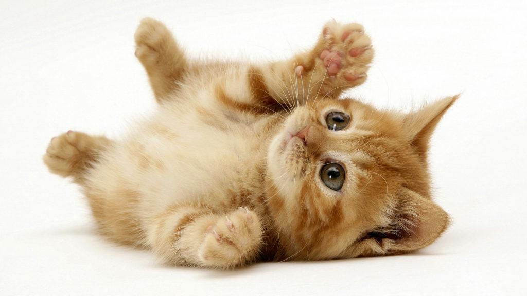 Как правильно выбрать здорового котенка