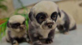 Щенки-панды